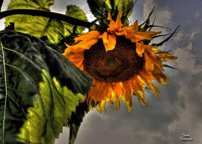 Stowe VT - Stowe Village Sunflower