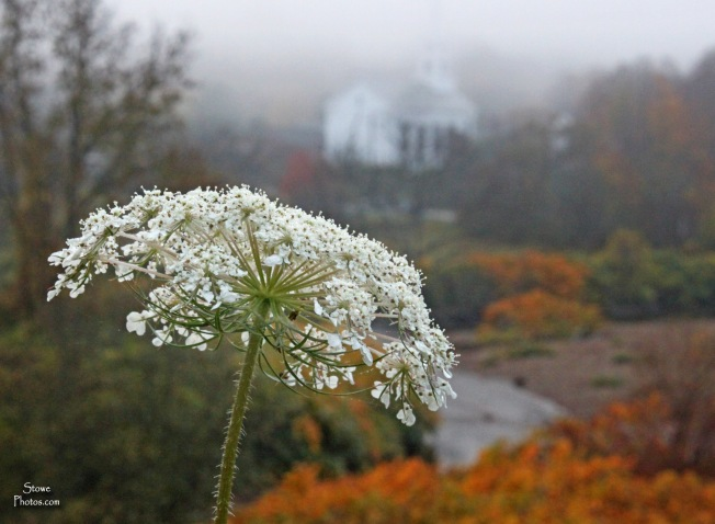 Stowe VT - Queen Ann's Lace with Stowe Community Church in background