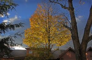 2014 oct 10 yellow tree
