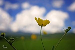2015 6 26 yellow flower in field