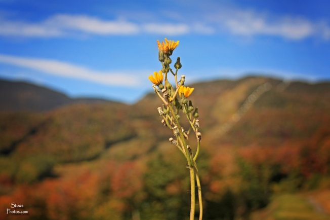 Stowe Mountain Resort - foliage at the mountain on October 5, 2015