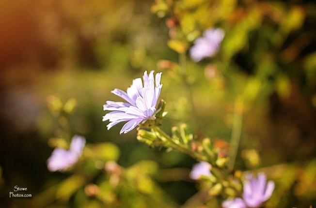 2016-7-27-montpelier-purple-wildflower