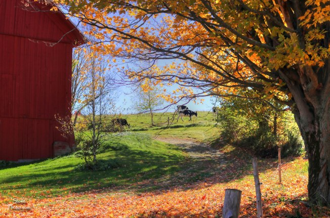 2016-10-14-stowe-luce-hill-barn-cows