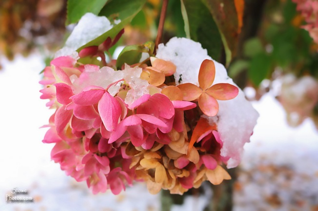 2016-10-23-hyde-park-snow-on-flower