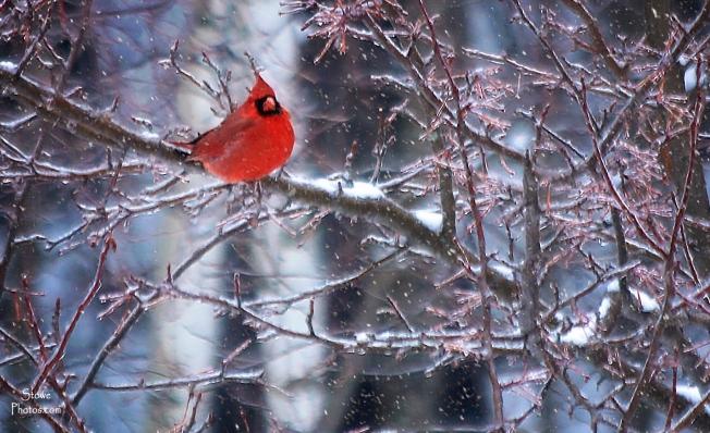 2017-1-24-cardinal-in-snow-a