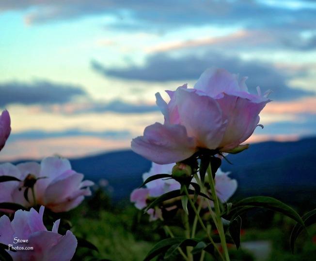 2017 6 25 trapps flowers - Copy - Copy - Copy