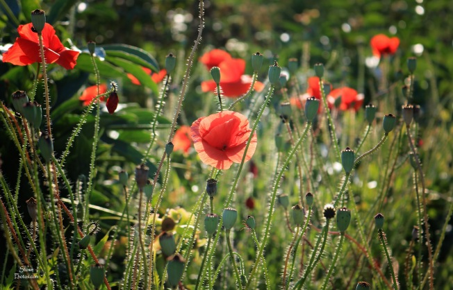 2017 7 23 poppies at trapps