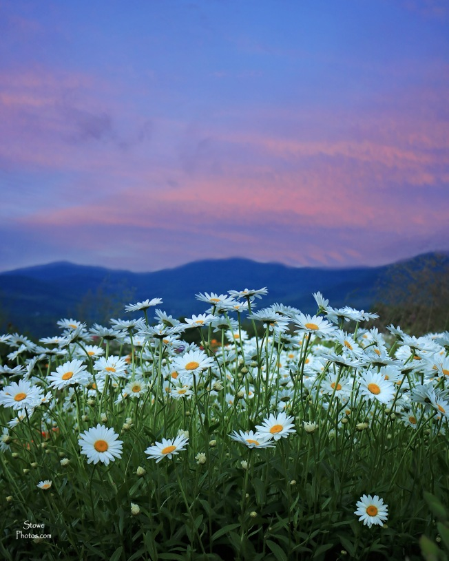 2017 7 23 trapps daisies sunset