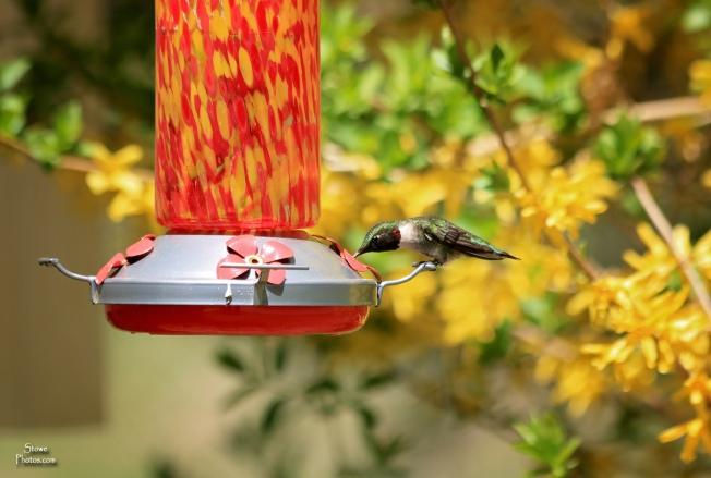 2018 05 12 hummingbird