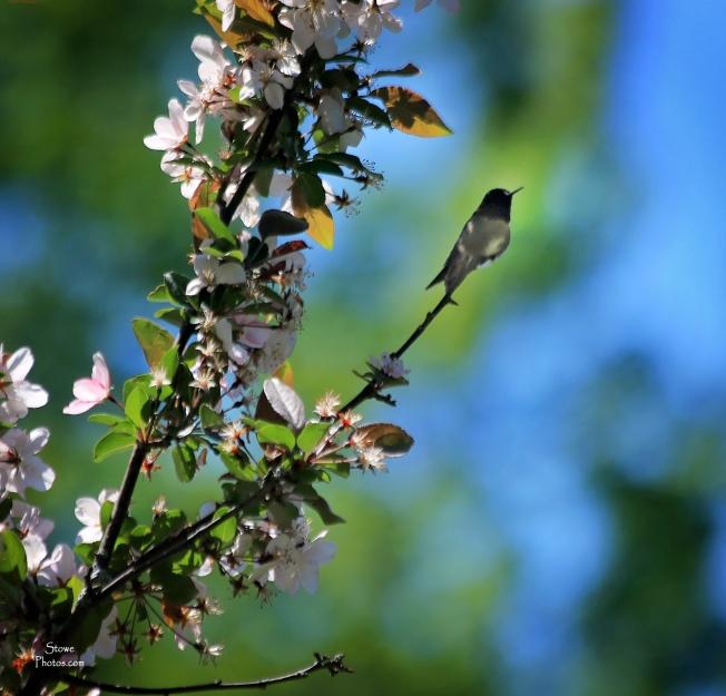 2018 05 29 hummingbird