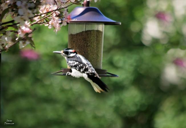 2018 05 29 woodpecker