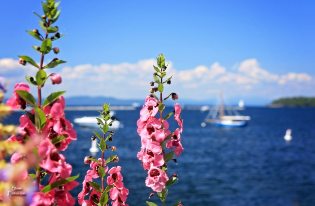 2018 08 20 Lake Champlain flowers