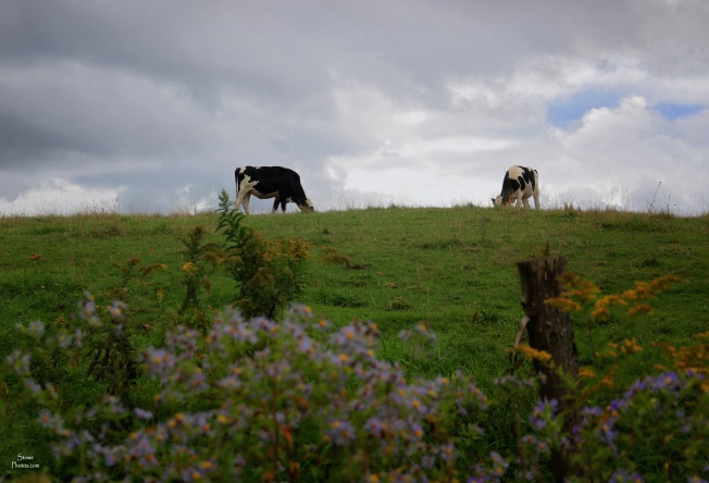 2019 09 24 cows luce hill