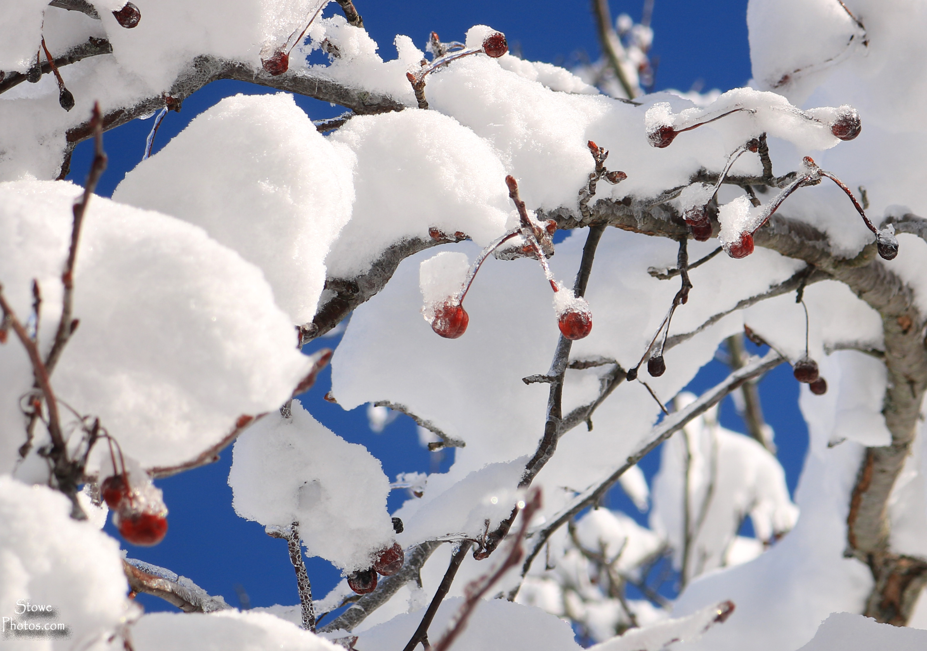 2020 02 08 snow and berries